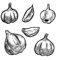 set of hand drawn garlic design elements for vector image vector image
