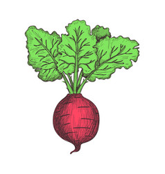 Fresh beet hand drawn isolated icon vector