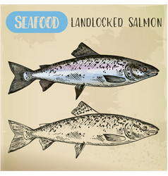 Atlantic or landlocked salmon sketch ouananiche vector