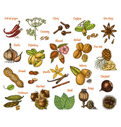 Herbs set condiments and spices nutmeg and vector