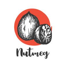 Nutmeg nut seed vintage hand drawing vector