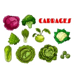 Vegetable cabbage isolated icons vector image