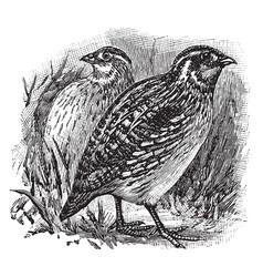 Messina quail vintage vector