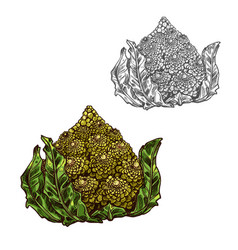 Romanesco cabbage sketch vegetable icon vector