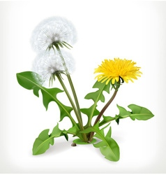 Dandelion flowers icon vector