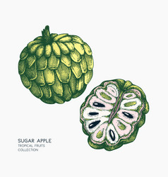 sugar-apple hand drawn vector image