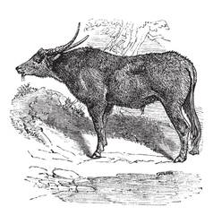 Water buffalo engraving vector
