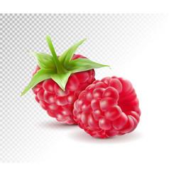 realistic raspberry fresh sweet fruit isolated vector image