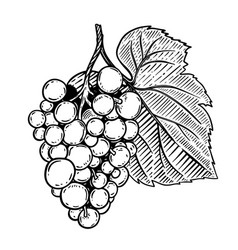 grape in engraving style isolated on white vector image