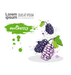 Mulberry hand drawn watercolor fruit on white vector