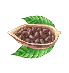 ripe watercolor cocoa beans vector image