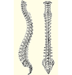 human spine vector image
