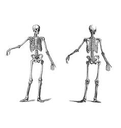 human skeleton vintage nineteenth century vector image