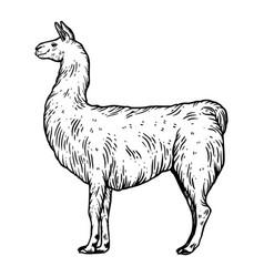 Llama animal engraving vector