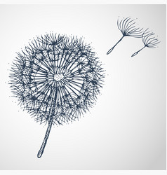 dandelion hand drawn vector image