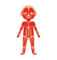 boy body anatomy with muscular system vector image vector image