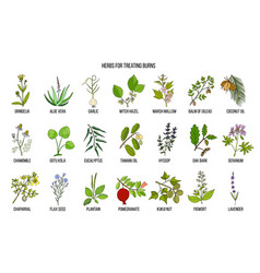collection of best herbs for burns treatment vector image