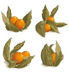 set of ripe physalis vector image