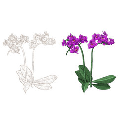 purple phalaenopsis orchid colored and outline vector image