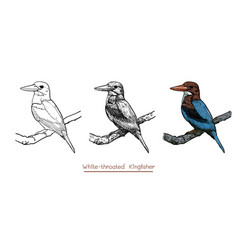 Drawing of white-throated kingfisher bird hold on vector