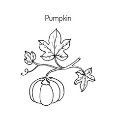 Pumpkin with leaves vector