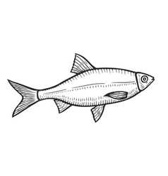 Hand drawn roach fish vector