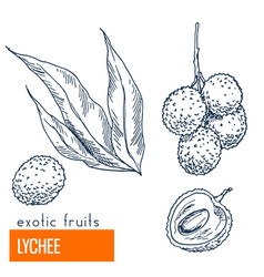 lychee hand drawn vector image