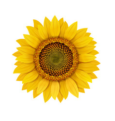 Sunflower realistic isolated vector