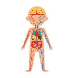 boy body anatomy with internal organs vector image vector image