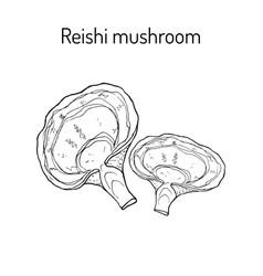 reishi mushroom ganoderma lucidum superfood vector image