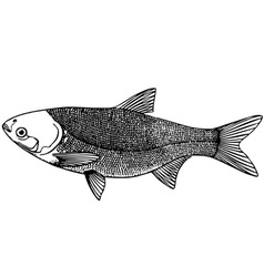 fishing silver carp vector image