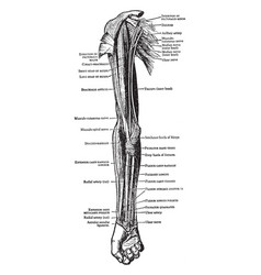 Muscles on the front of the arm and forearm vector