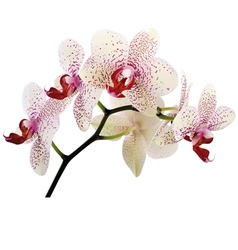 Orchidee vector image vector image