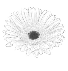 Black and white gerbera flower isolated vector