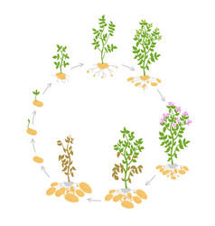 The life cycle crop stages of potato vector