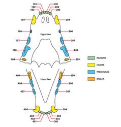 Construction of a cats teeth dental formula vector