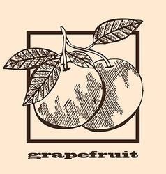 Hand drawn grapefruits vector