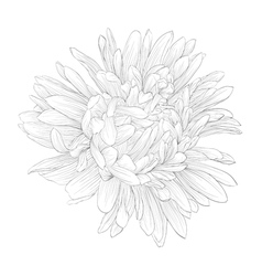 black and white aster flower isolated vector image