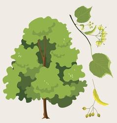 linden tree vector image vector image