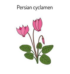 cyclamen cyclamen persicum flowering plant vector image