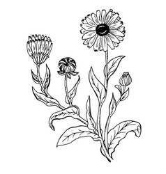 doodle calendula officinalis plants drawn contour vector image