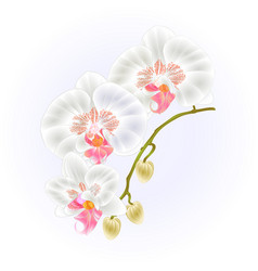 Stem orchid phalaenopsis white flowers and buds vector