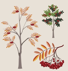 mountain ash with berries vector image