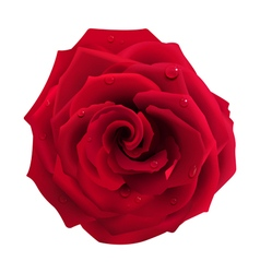 Red Rose with Water Drops vector image vector image