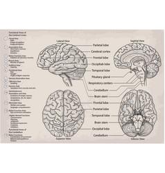 Anatomical diagram of human brain medicine vector