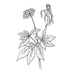doodle ginseng dyed black vector image vector image