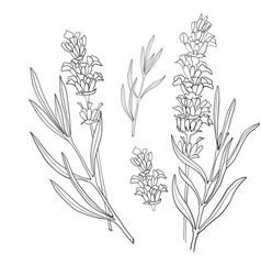 hand drawn botanical lavender vector image