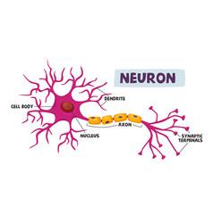 Human neurons scheme infographics dendrite cell vector