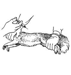 veterinar injecting an animal vector image