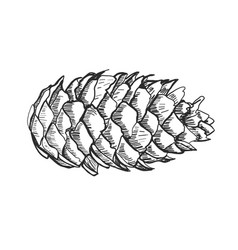 Detailed a pine cone vector